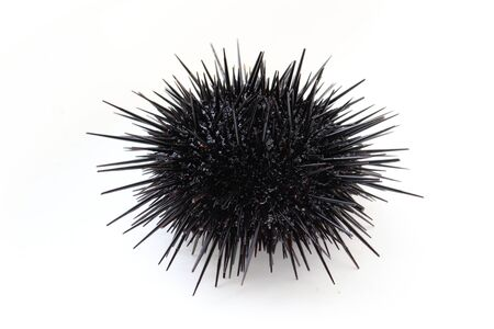 Sea urchin Strongylocentrotus nudus on white background