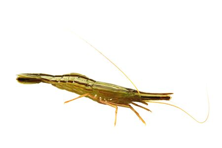 Alive shrimp isolated on white background closeup