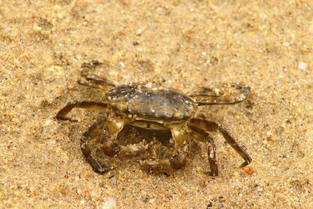 Japanese rock crab (Cancer amphioetus) on sand closeup. 写真素材