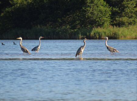 Group of herons standing in the water on the green beach background closeup