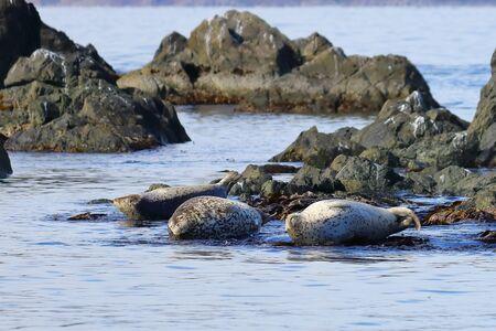 Spotted seals (largha seal, Phoca largha) laying on coastal rocks. Wild spotted seal sanctuary. Calm blue sea, wild marine mammals in natural habitat. Imagens