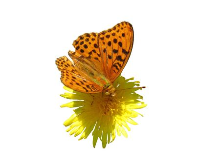 Brown spotted butterfly on yellow flower closeup isolated on white background