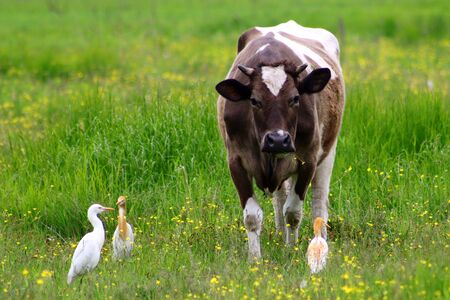 Wild great egret heron (Ardea alba) and cattle egret (Bubulcus ibis) standing closely to domestic cow. Friendship between wild and domestic animals.