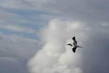 Red-footed Booby (Sula sula) bird flying on cloudy sky background. Marine bird in natural habitat. North Pacific ocean.