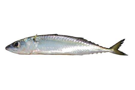 Pescado vivo de la caballa, la caballa del Pacífico o la caballa del Pacífico (Scomber japonicus) aislado sobre fondo blanco.