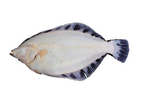 Alive flatfish Pleuronectes obscurus isolated on white background.