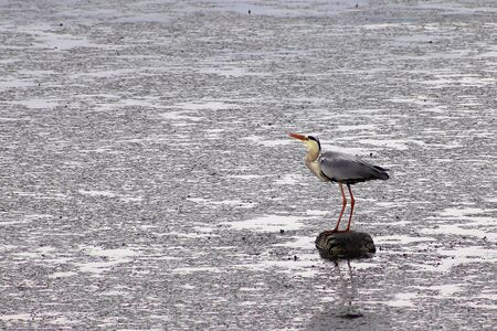Gray heron Ardea cinerea standing on the car tire drown in swamp. Environment pollution concept.