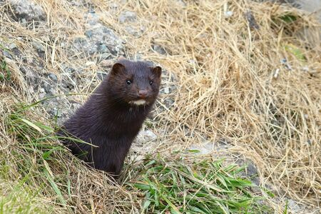 Mink looking from burrow. Mustela lutreola - wild predatory furry animal hunting in nature.
