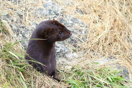 Wild mink looking out from burrow. Mustela lutreola - wild predatory furry animal hunting in nature.
