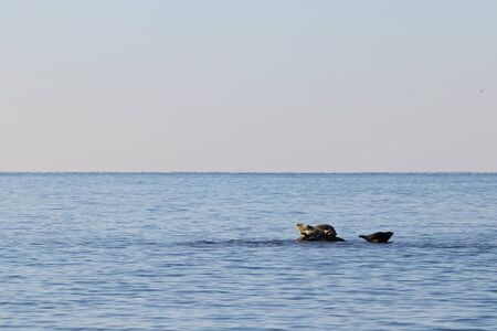 Seals (spotted seal, largha seal, Phoca largha) on the rock in sunny day. Wild spotted seal sanctuary. Calm blue sea, wild marine mammals in nature on background of blue sea, horizon and sunrise sky.