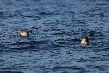 Spotted seals Phoca largha swimming on sea surface in natural habitat. Couple of seals looking from water, head and cute faces with mustache are visible. Reklamní fotografie