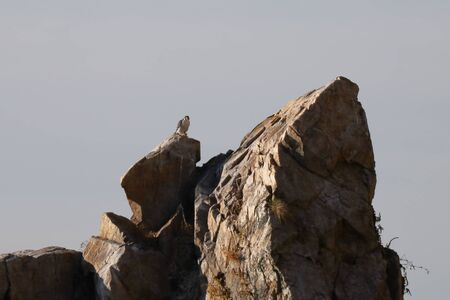 Peregrine falcon Falco peregrinus sitting afar on the rock on sky background. Wild predatory bird in nature. Reklamní fotografie