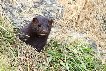 Wild mink Mustela lutreola lookking from burrow. Predatory furry mammal hunting in nature.
