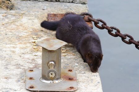 Wild mink walking on concrete pier. Mustela lutreola - wild predatory furry animal in human habitation.