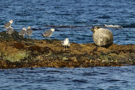 Spotted seal (largha seal, Phoca largha) and seagulls on the rock near the blue water on rock background. Wild seal and seabirds close to each others in nature.