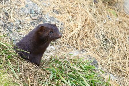Wild mink Mustela lutreola looking from burrow - wild predatory furry animal hunting in nature.