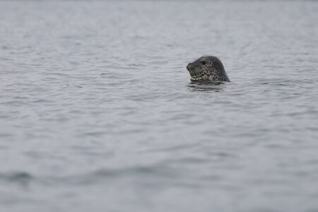 Spotted seal Phoca largha in nature. Seal looking from water, head and cute face with mustache are visible. Wild marine mammal swimming in natural habitat.
