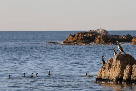Cormorants sitting on the rocks and swimming in the water on blurred background of rocky island on horizon. Seabirds in nature. Sunny sunrise light, calm blue sea.