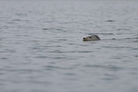 Seal Phoca largha swimming in the wilds. Spotted seal looking from water on blurred background and foreground. Wild marine mammal swimming in natural habitat. Reklamní fotografie