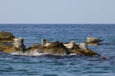 Seals (largha seal, Phoca largha) laying on the rocks. Wild spotted seal sanctuary. Calm blue sea, wild marine mammals in nature.