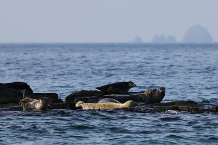 Spotted seals (largha seal, Phoca largha) sanctuary on rocks. Background of blurred islands on the horizon. Seal sanctuary. Calm blue sea, wild marine mammals in natural habitat. Reklamní fotografie