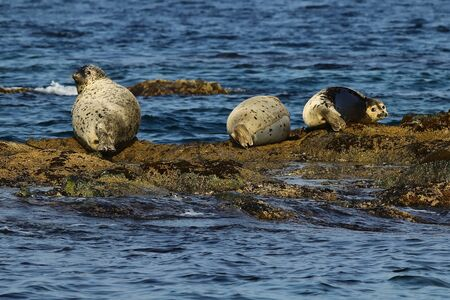 Spotted seals (largha seal, Phoca largha) on the rock in sea. Seal sanctuary. Calm blue sea, wild marine mammals in the wilds.