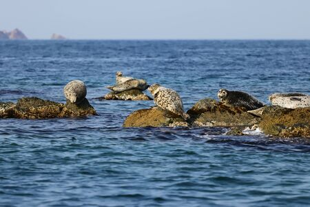 Spotted seals (largha seal, Phoca largha) on the rocks in sea. Seal sanctuary. Calm blue sea, wild marine mammals in the wilds. Reklamní fotografie - 134466795