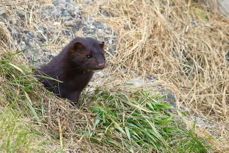 Wild mink looking from burrow. Mustela lutreola - wild predatory furry animal hunting in natural habitat. Reklamní fotografie - 134466796