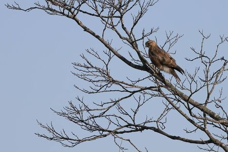 Black kite (Milvus migrans) on the tree branch on sky background. Bird of prey in the wilds. Reklamní fotografie