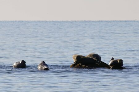 Seals (spotted seal, largha seal, Phoca largha) on the rock and in the water in sunny day. Wild spotted seal sanctuary. Reklamní fotografie