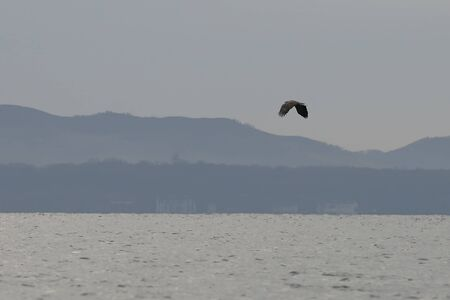 White-tailed eagle (Haliaeetus albicilla) flying over the sea surface on blurred background of coastal hills.