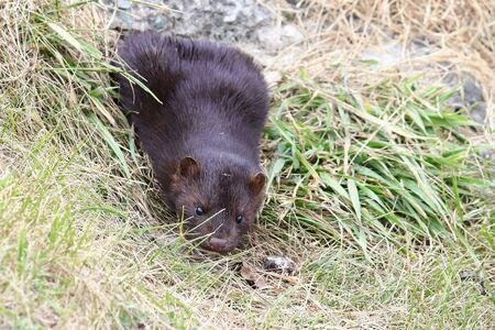 Mink sneaking from burrow. Mustela lutreola - wild predatory furry animal hunting in natural habitat. Reklamní fotografie