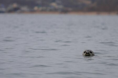 Wild seal Phoca largha swimming in the water. Spotted seal looking from water on blurred background of the beach and human settlement. Wild marine mammal swimming in nature. Reklamní fotografie