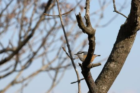 Eurasian nuthatch or wood nuthatch (Sitta europaea) sitting on tree branch on sky background in sunlight. Wild bird in natural habitat.