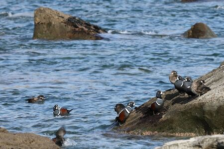 Harlequin ducks (Histrionicus histrionicus) flock swimming in sea water and sitting on coastal rocks. Group of wild ducks in natural habitat. Reklamní fotografie