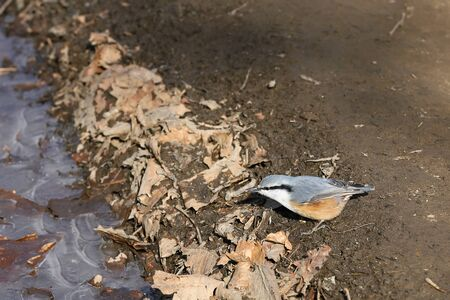 Eurasian nuthatch or wood nuthatch (Sitta europaea) sitting on the ground on the edge of frozen puddle. Wild passerine bird in nature. Reklamní fotografie