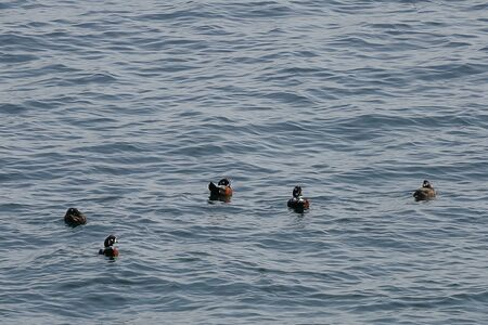 Harlequin ducks (Histrionicus histrionicus) flock swimming on the sea surface. Group of wild ducks in natural habitat. Reklamní fotografie