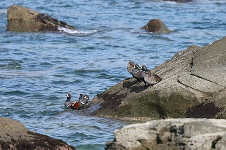 Harlequin ducks (Histrionicus histrionicus) on coastal rocks. Group of wild ducks in natural habitat.