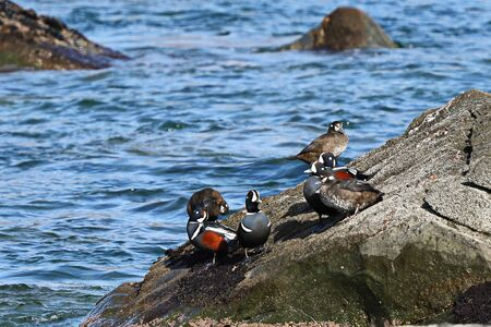 Harlequin ducks (Histrionicus histrionicus) sitting on coastal rocks closeup. Group of wild ducks in natural habitat. Reklamní fotografie