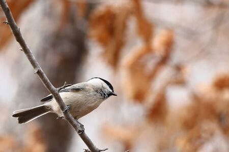 Japanese tit or Oriental tit (Parus minor) sitting on tree branch on blurred dry oak leaves background closeup. Wild passerine bird in natural habitat.