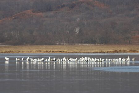 Many seagulls sitting on frozen lake surface on blurred background of coast with autumn colored grass and trees. Reklamní fotografie