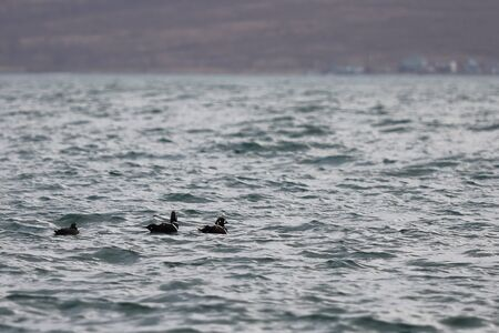 Group of Harlequin ducks (Histrionicus histrionicus) swimming in sea on the blurred autumn colored coast background. Flock of wild diving ducks in natural habitat.