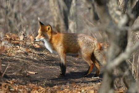 Wild red fox Vulpes vulpes in natural habitat in the woods. Russky island, Vladivostok, Far East Russia.