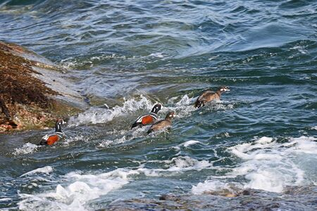 Group of Harlequin ducks (Histrionicus histrionicus) fighting against sea waves in coastal rocks. Group of wild ducks in natural habitat.