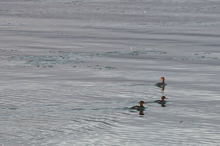 Group of Red-breasted mergansers (Mergus serrator) ducks swimming in ice floes on calm cold sea water. Wild diving ducks in nature.