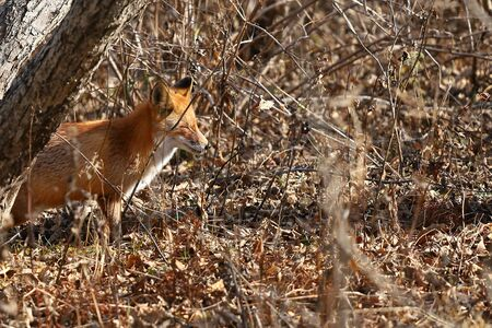 Wild red fox Vulpes vulpes in natural habitat hunting in the woods. Russky island, Vladivostok, Far East Russia.