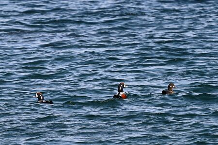 Harlequin ducks (Histrionicus histrionicus) flock swimming on the sea surface. Group of wild ducks in natural habitat. Stockfoto