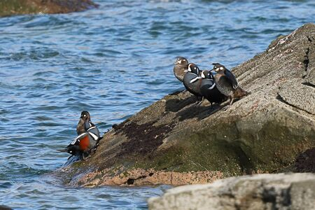 Harlequin ducks (Histrionicus histrionicus) sitting on coastal rocks closeup. Group of wild ducks in natural habitat. 写真素材