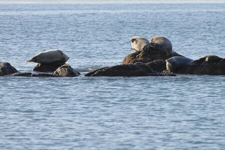 Seals (spotted seal, largha seal, Phoca largha) laying on the rocky reef in sea water in sunny day. Wild spotted seal sanctuary.