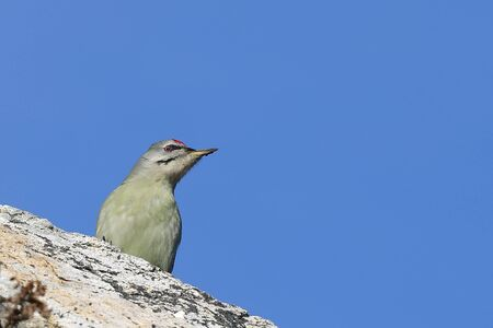 Gray-headed woodpecker (Picus canus) sitting on the rock on blue sky background in sunny autumn day. Reklamní fotografie